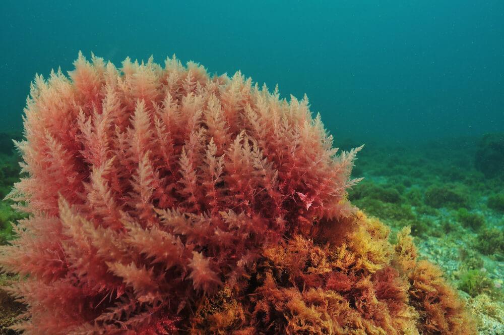 Red coral seaweed growing underwater
